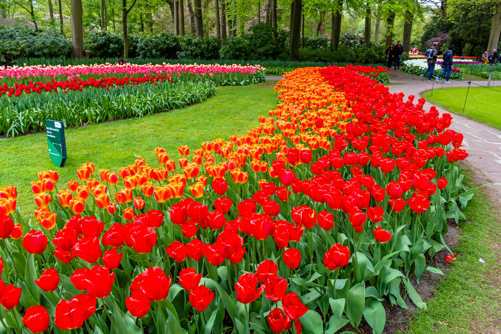 Row of tulips in Keukenhof Tulip Gardens