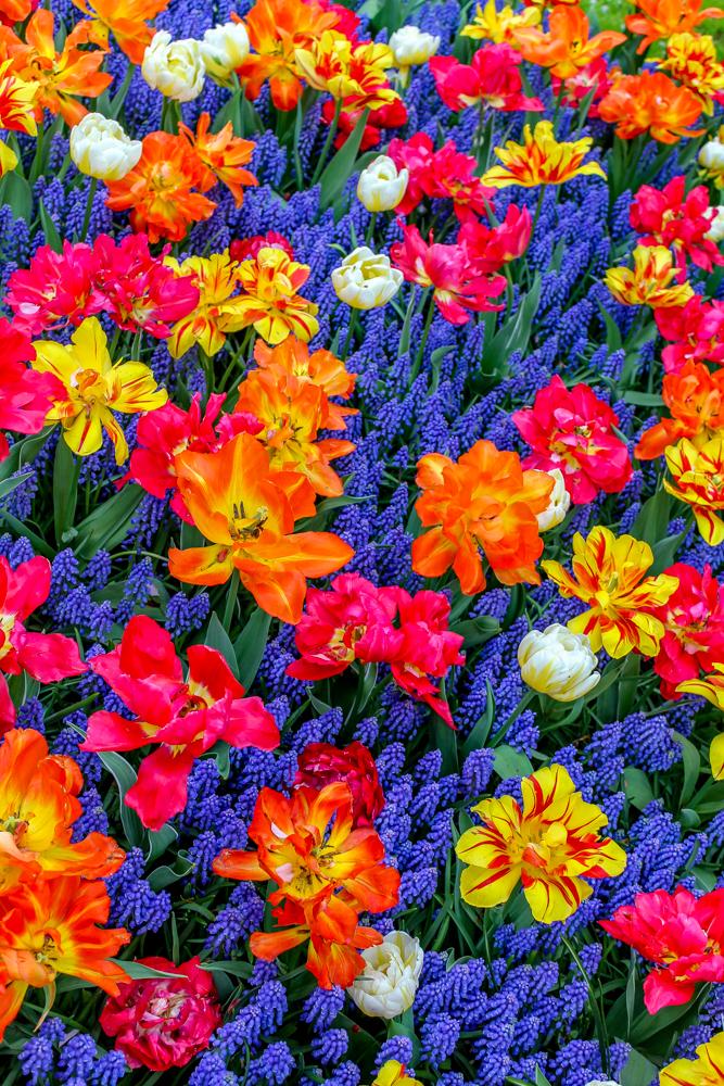 Keunkenhof tulip gardens