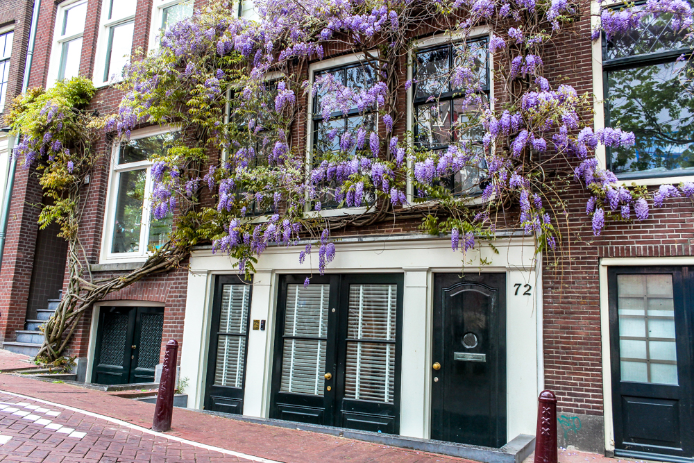 Purple flowers on a house in Amsterdam