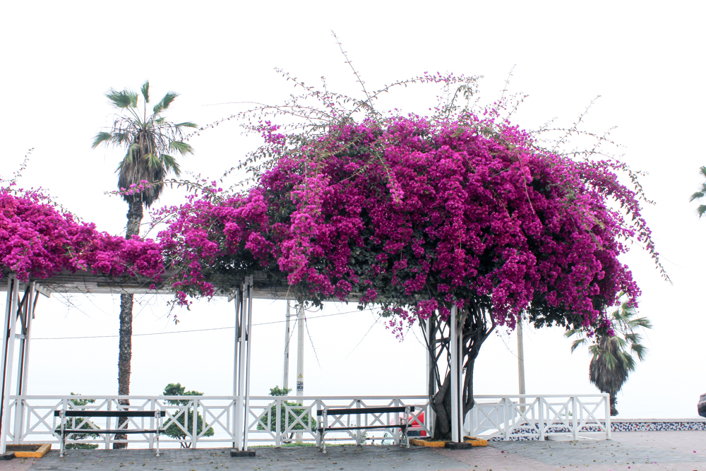 Purple flowers in LIma Peru against a white sky