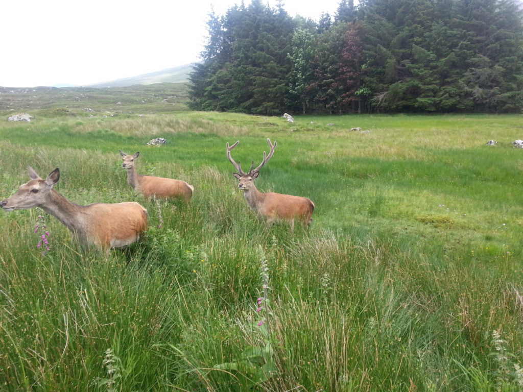 deer in scotland